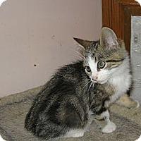 Adopt A Pet :: Gato - Toronto, ON