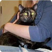 Adopt A Pet :: Shotsy - Reston, VA