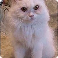 Adopt A Pet :: Aphrodite - Davis, CA