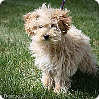 Adopt A Pet :: Sinbad - Broomfield, CO