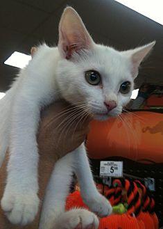 Burmese Cat for adoption in Cerritos, California - Lexus