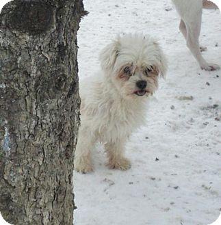 Maltese Dog for adoption in Poland, Indiana - Tigger