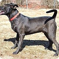 Labrador Retriever Mix Dog for adoption in Byhalia, Mississippi - Cam