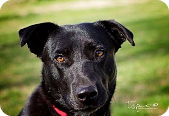 Labrador Retriever Mix Dog for adoption in Springfield, Missouri - Louise