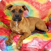 Adopt A Pet :: Cecelia Boxer Mix - St. Louis, MO