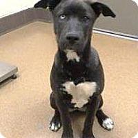 Adopt A Pet :: Abigail - Las Vegas, NV