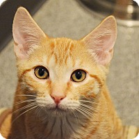 Domestic Shorthair Kitten for adoption in Lincoln, Nebraska - Sunflower