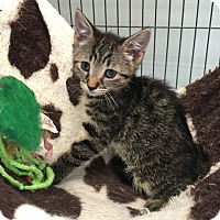 Domestic Shorthair Kitten for adoption in Wayne, New Jersey - Daytona