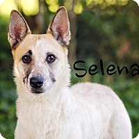 Australian Cattle Dog Mix Dog for adoption in Joliet, Illinois - Selena