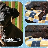 Great Dane Puppy for adoption in DOVER, Ohio - Dumbledore