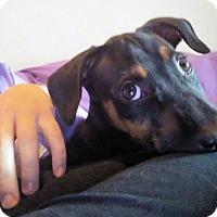 Adopt A Pet :: Geordi - Euless, TX