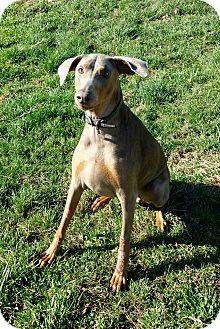 Doberman Pinscher Dog for adoption in New Richmond, Ohio - Lanie