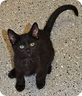 Domestic Shorthair Kitten for adoption in Michigan City, Indiana - Bacon