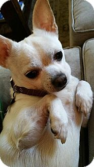 Chihuahua Dog for adoption in Chicago, Illinois - Snoopy