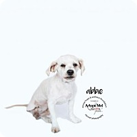 Adopt A Pet :: ABBY - Sherman Oaks, CA