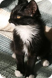 Domestic Mediumhair Kitten for adoption in Westwood, New Jersey - Becca