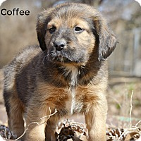 Adopt A Pet :: Coffee~adopted! - Glastonbury, CT
