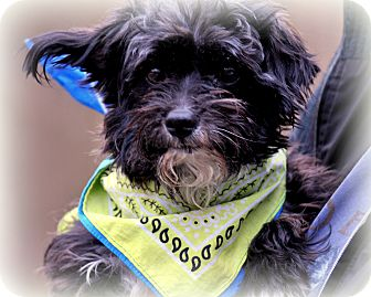Yorkie, Yorkshire Terrier/Poodle (Miniature) Mix Dog for adoption in Sparta, New Jersey - Marley-Yorkipoo