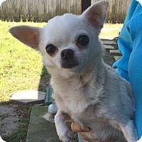 Adopt A Pet :: Crystal - St. Petersburg, FL