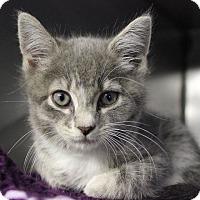 Adopt A Pet :: Kittens! Kittens! Kittens! - Voorhees, NJ