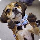 Adopt A Pet :: Vikki  **ADOPTION PENDING**