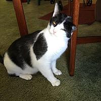 American Shorthair Cat for adoption in Philadelphia, Pennsylvania - CiCi