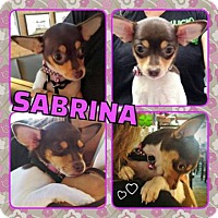 Chihuahua Mix Puppy for adoption in Scottsdale, Arizona - Sabrina