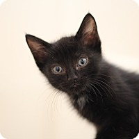 Adopt A Pet :: Black Cat Special! (Extended!) - Richmond, VA