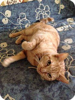 Domestic Shorthair Cat for adoption in Gerber, California - Gabby