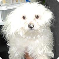 Adopt A Pet :: Frappucino - Brooklyn, NY