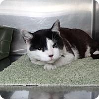 Adopt A Pet :: Amber - Elyria, OH