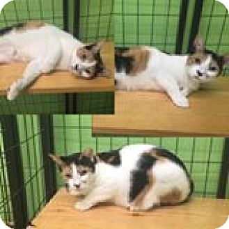 Domestic Shorthair Cat for adoption in Bryan, Ohio - aurora