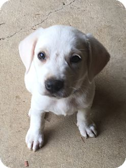 Labrador Retriever Mix Puppy for adoption in Southington, Connecticut - George (adopted)