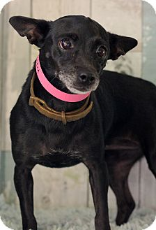 Chihuahua Mix Dog for adoption in Waldorf, Maryland - Susy