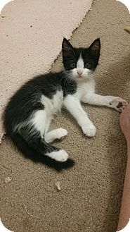 Domestic Shorthair Kitten for adoption in Yorba Linda, California - Delilah
