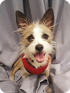 Jack Russell Terrier/Cairn Terrier Mix Dog for adoption in Los Angeles, California - Chap
