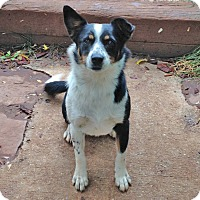 Border Collie/Cattle Dog Mix Dog for adoption in Midvale, Utah - bitty