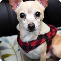 Adopt A Pet :: Little Joe - Chattanooga, TN