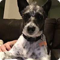 Jack Russell Terrier Mix Dog for adoption in West Palm Beach, Florida - Me JB