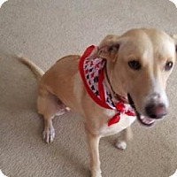 Labrador Retriever/Rhodesian Ridgeback Mix Dog for adoption in Olympia, Washington - Princess Bella