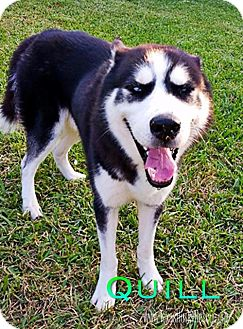 Siberian Husky Dog for adoption in Carrollton, Texas - Quill