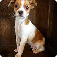 Adopt A Pet :: Barley - Fredericksburg, TX
