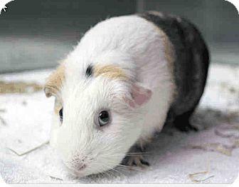 Guinea Pig for adoption in Fullerton, California - *Urgent* Vanilla
