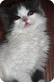 Domestic Mediumhair Kitten for adoption in Manahawkin, New Jersey - Dusty
