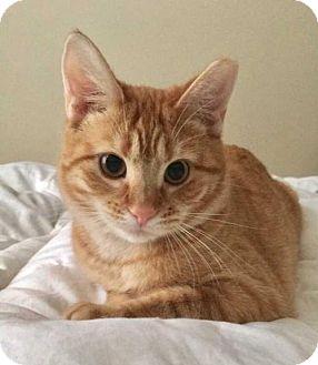Domestic Shorthair Kitten for adoption in New City, New York - Ruby