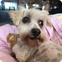 Adopt A Pet :: Maltese - Mary Esther, FL