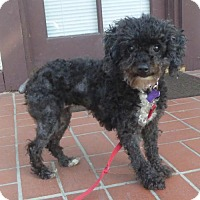 Adopt A Pet :: Hattie Joy - Seattle, WA