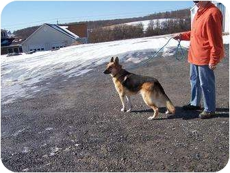 German Shepherd Dog Dog for adoption in Tully, New York - ROXY
