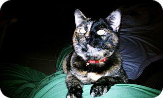 Domestic Shorthair Cat for adoption in Laguna Woods, California - Cuddly Cloe