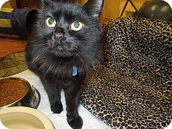 Domestic Mediumhair Cat for adoption in Medina, Ohio - Moe